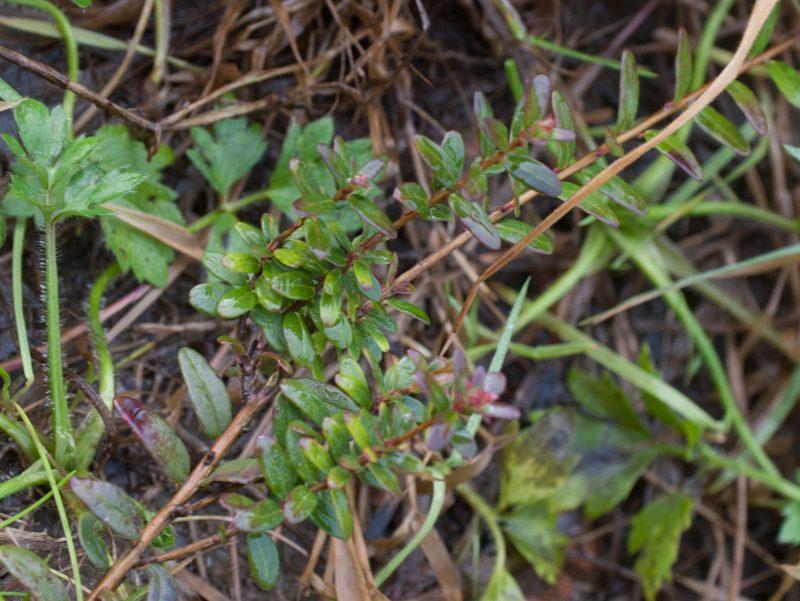 Cranberryplant 4