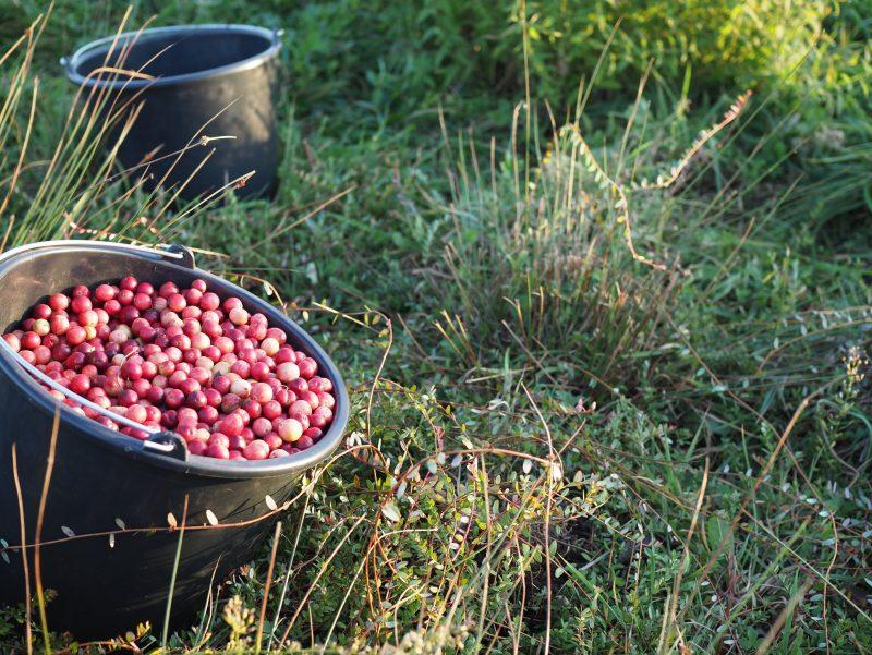 Cranberrys In September2